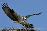 Osprey nesting pair pb.jpg