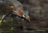Green Heron 3 pb.jpg