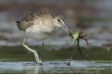 Willet with a crab pb.jpg