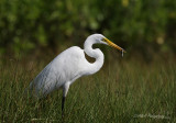 Great Egret with a catch pb.jpg