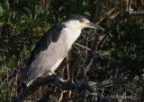 Black Crowned Night Heron pb.jpg