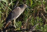Immature Black Crowned Night Heron pb.jpg