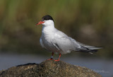 Common Tern 2 pb.jpg