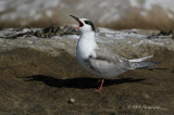 Immature Common Tern pb.jpg