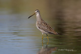 Short-billed Dowitcher pb.jpg
