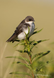 Tree Swallow 3 pb.jpg