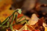 Praying Mantis pb.jpg