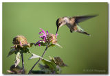 Hummingbird dic pc.jpg