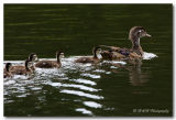 woodduck with young pc.jpg