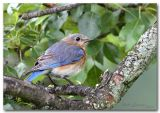 female bluebird pc.jpg
