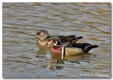 wood duck pair.jpg