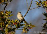 Mocking bird on some holly.jpg