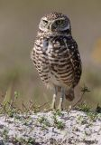 Burrowing owl 8 pc.jpg