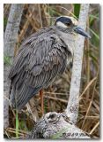 Yellow crowned night heron pc.jpg