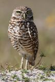 Burrowing Owl pc.jpg