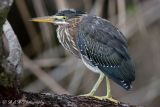 green heron 1 pc.jpg