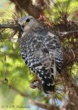 Red Shouldered Hawk pc.jpg
