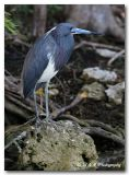 Tri color heron4 pc.jpg