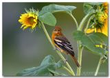 Orchard Oriole2 pc.jpg