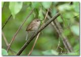 house wren pc.jpg