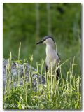 Black crowned night heron pc.jpg
