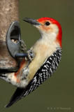Red Bellied Woodpecker pb.jpg