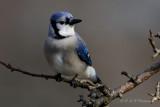 Bluejay 2 pb.jpg