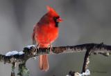 Northern Cardinal 2 pb.jpg