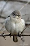 Mockingbird pb.jpg