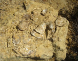 Fossil Oysters in the Dakota Formation