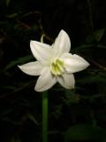 Eucharis sp. Narcissus in Forest