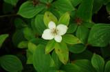 Bunch Berry - Cornus canadensis