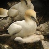 Northern Gannet & chick