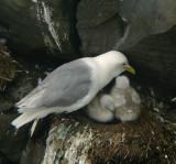 Black-legged Kittiwake & chicks