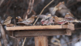 rosy finches