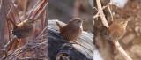 Winter Wrens