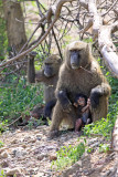 Baboons with infant