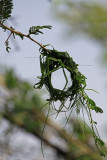 Early nest construction by speke's weaver