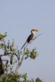 Yellow hornbill