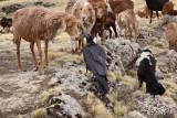 Sheep Form a Queue