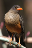 Mountain Thrush