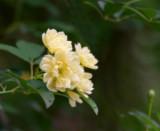 Banksia Lutea