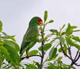 Pacific Parakeet