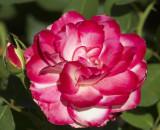 El Rosedal, Buenos Aires Rose Garden