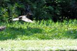 DSC01408 - Bird going to wing