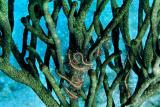 ofiuro em coral