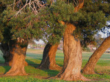 The Marching Ancient Yews