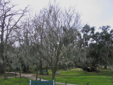 The Spanish Moss is Once Again Growing on our Trees