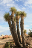 Joshua Tree & Red Rock Canyon
