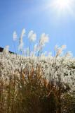Japan - Hakone Silver Grass Field